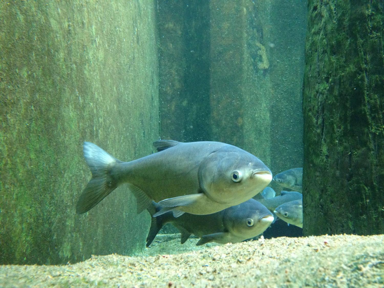 Asian carp impact on energy flow