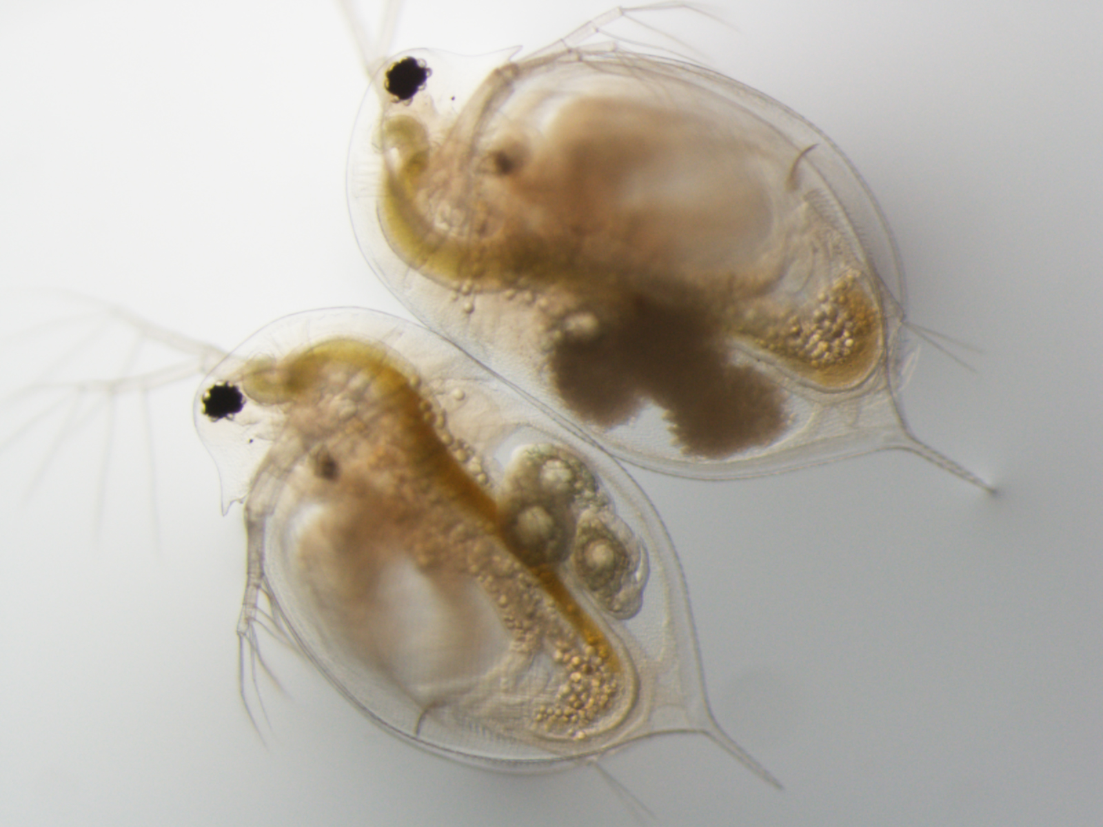 daphnia research papers View daphnia magna research papers on academiaedu for free.