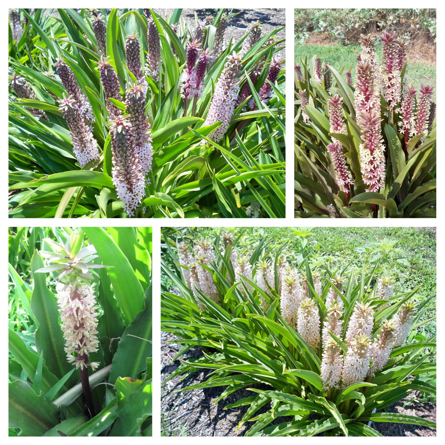 Optimal Conditions For Forcing Cut Pineapple Lily