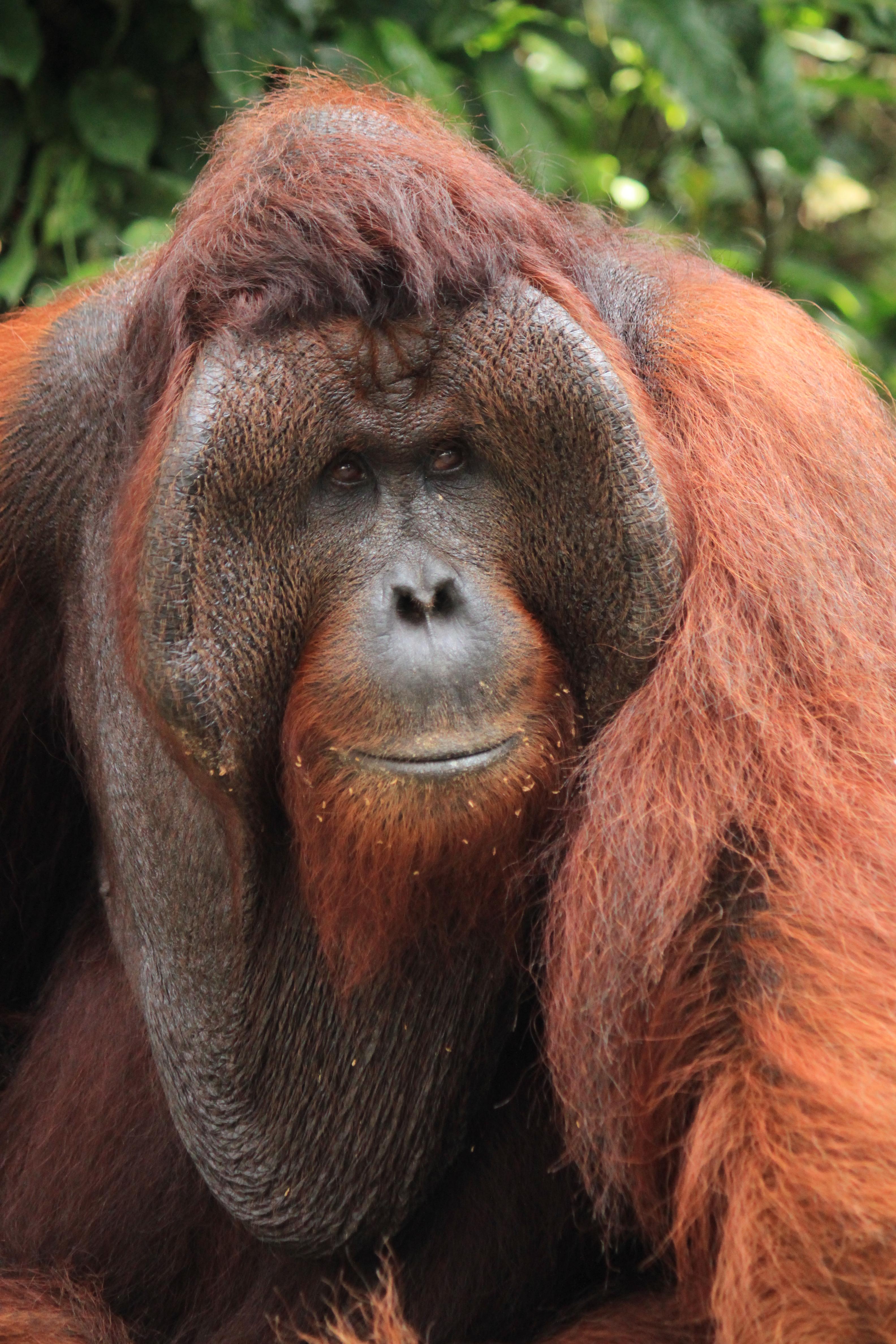 Orangutan has sex with woman