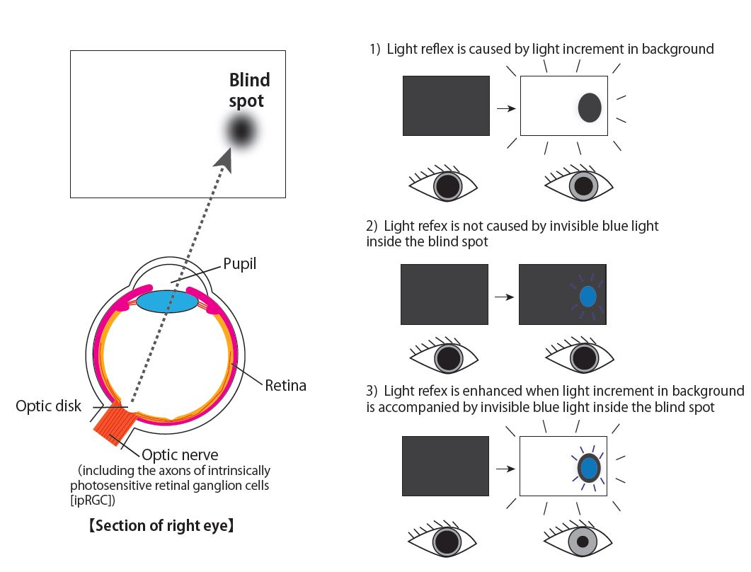 pupillary reflex enhanced by light inside blind spot