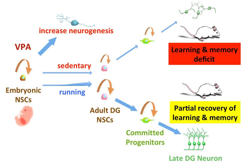Running Prevents Postnatal Side Effects Of Epilepsy Drugs