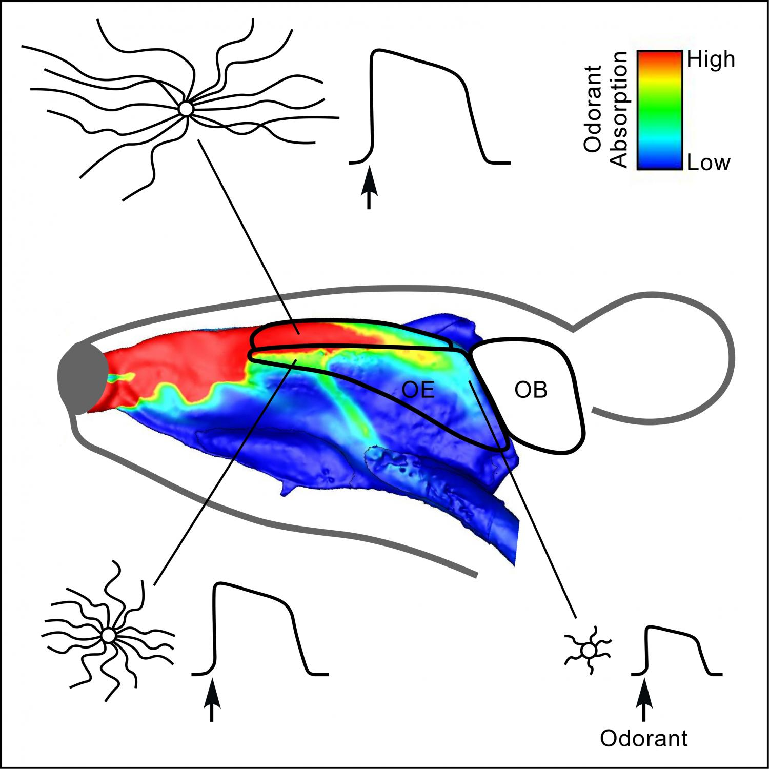 Sensitivity Of Smell Cilia Depends On Location And Length In Nasal
