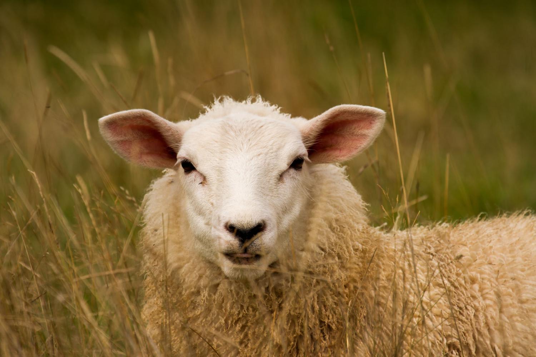 Schaf Kopf