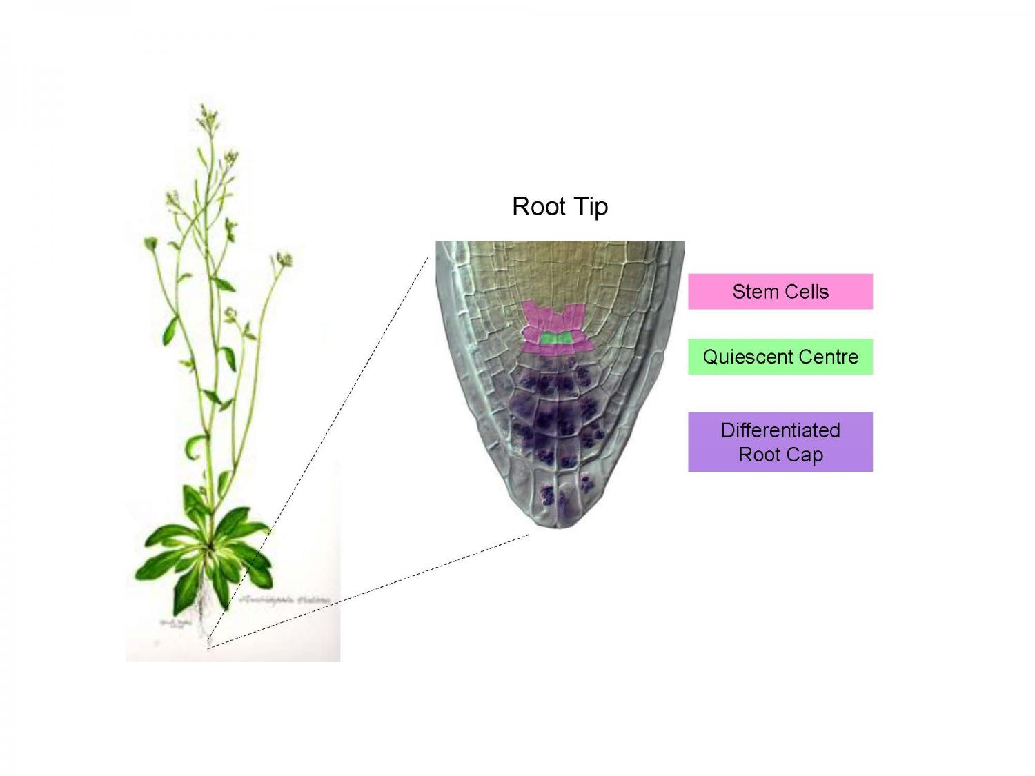 Biologists demonstrate how signals in plant roots determine the ...