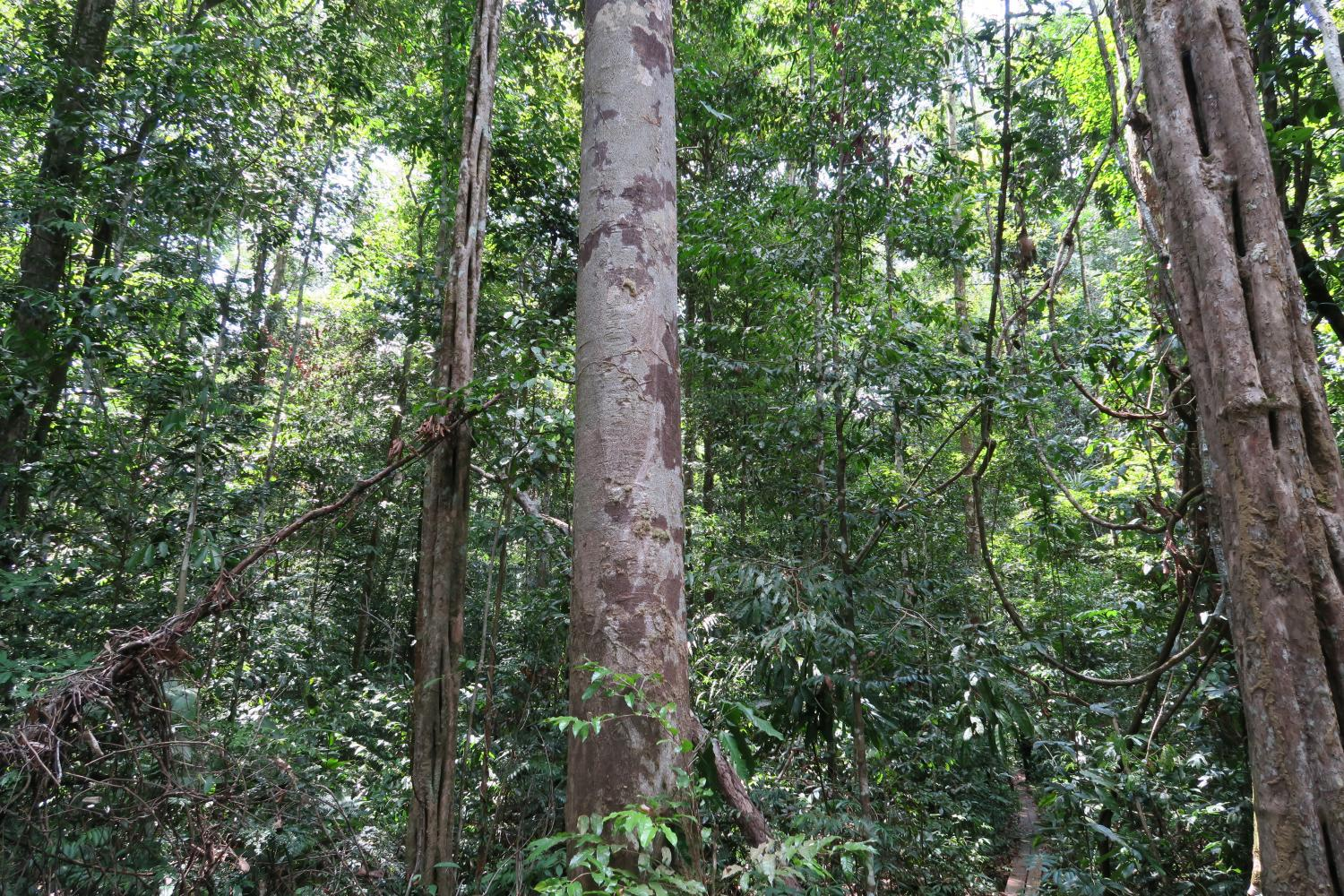 Tallest Trees Could Die Of Thirst In Rainforest Droughts