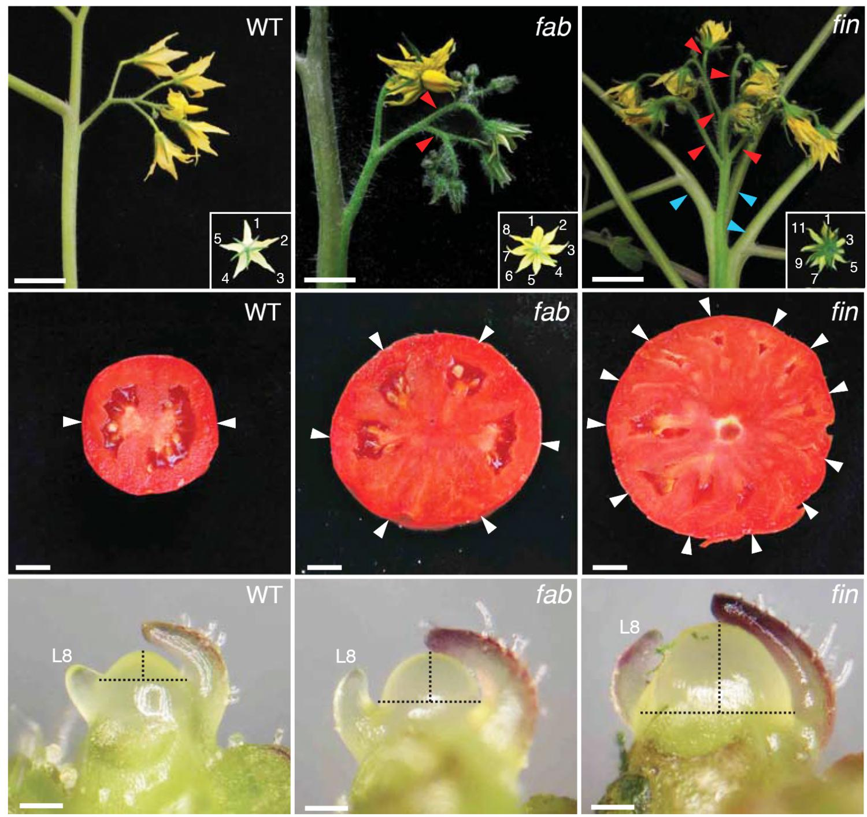 Image result for beefsteak tomatoes origin