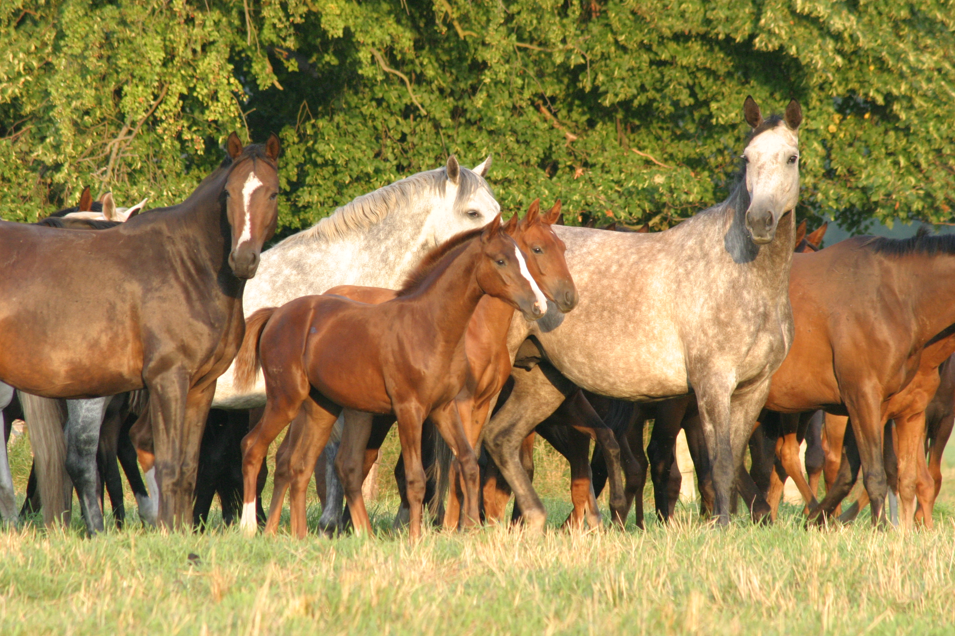 the contribution of mare genetics to gestation length and