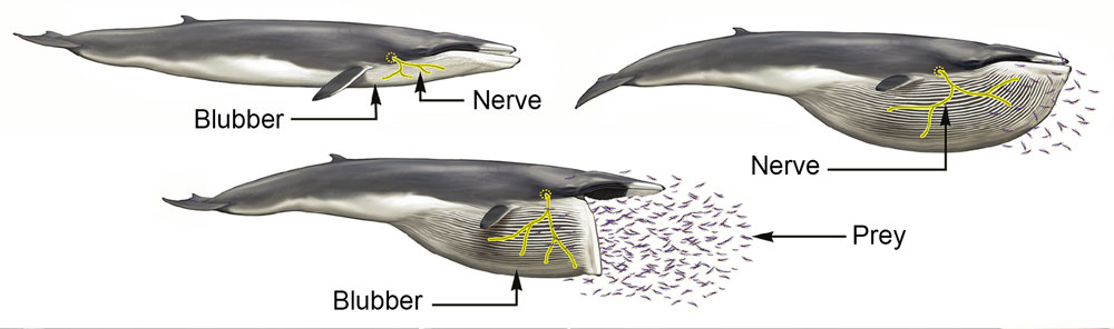 Gigantic Whales Have Stretchy Bungee Cord Nerves