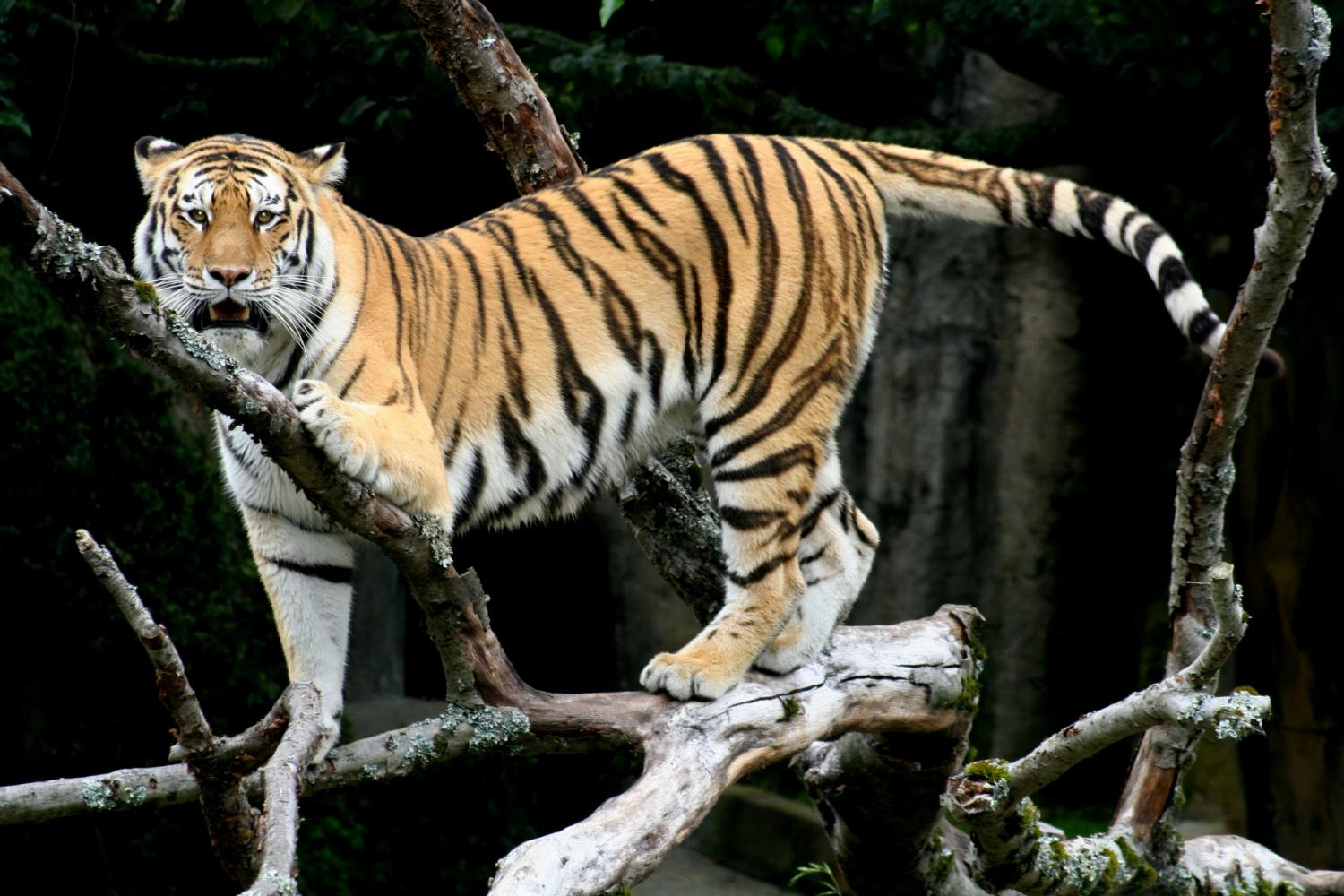 why are tigers disapperaing One has to keep in mind that when you hear about tiger conservation, it's because the tiger is an umbrella specie so, it's not about saving just the tiger but its entire ecosystem.