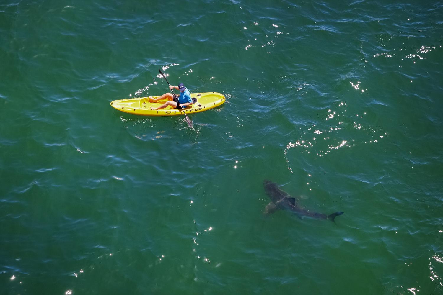 To Avoid Dangerous Shark Encounters Information Trumps Culling