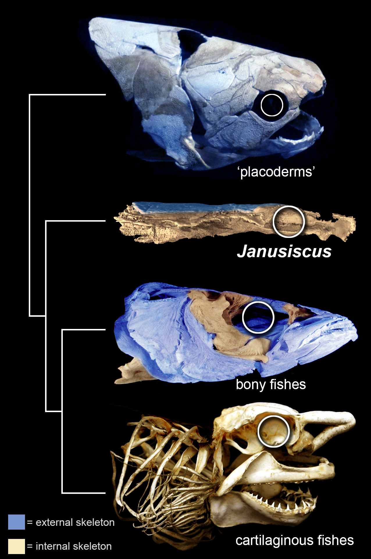 Two-faced fish clue that our ancestors \'weren\'t shark-like\'