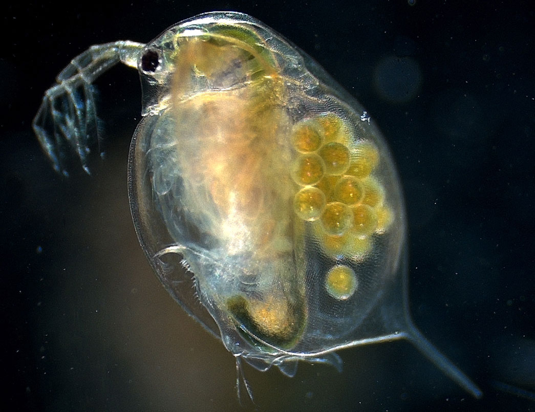 Water Fleas Genetically Adapt To Climate Change
