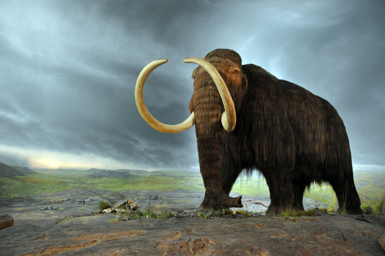 Wooly mammoth model at the royal bc museum credit wikipedia