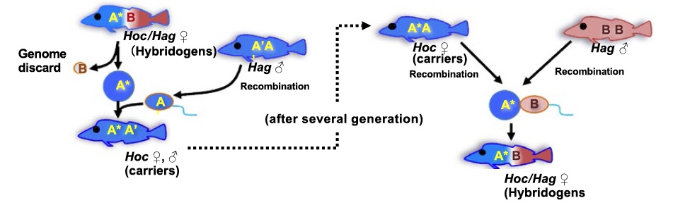 All-female hybrid fish species uses males for better genetics
