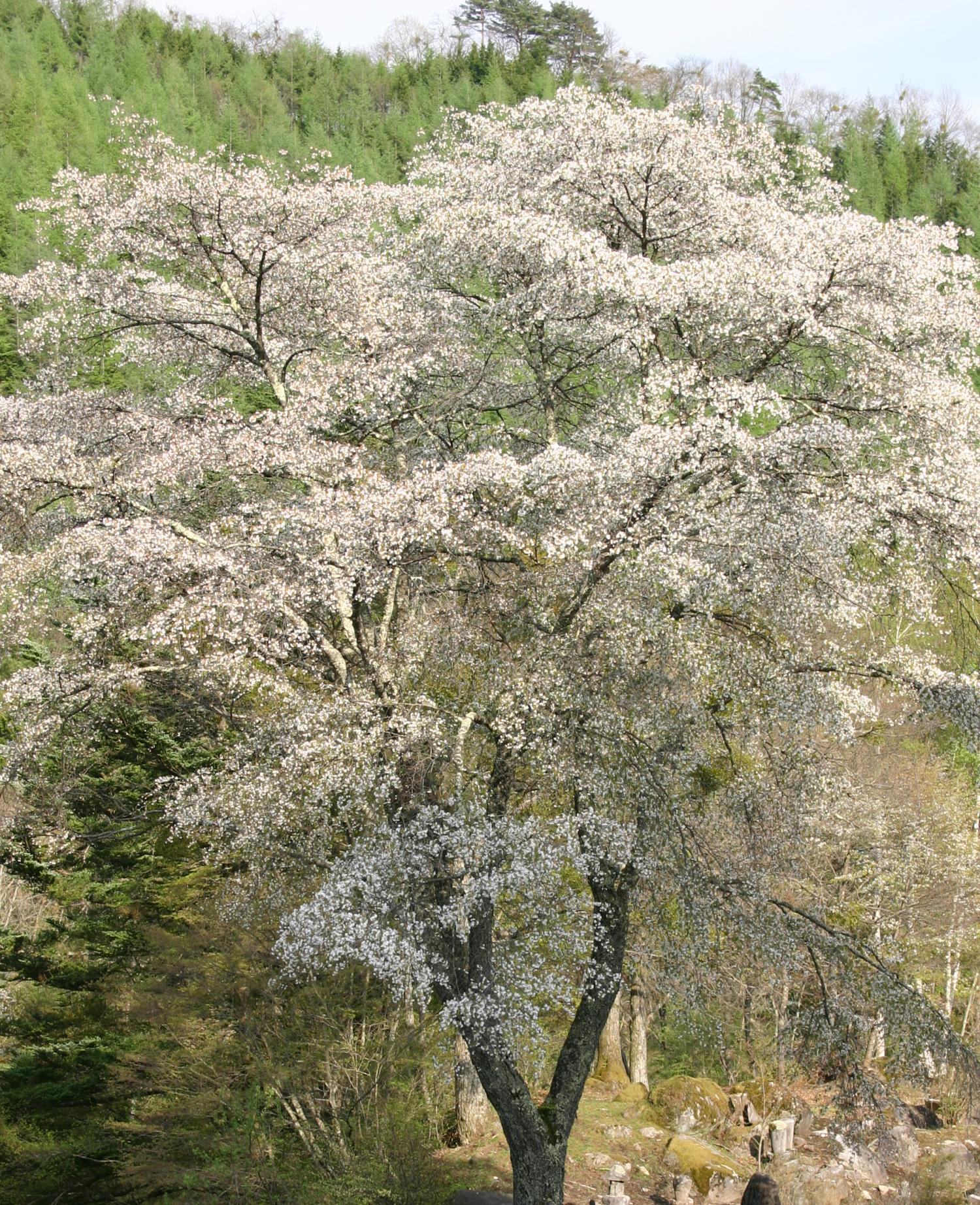 can mountain climbing bears rescue cherry trees from global warming