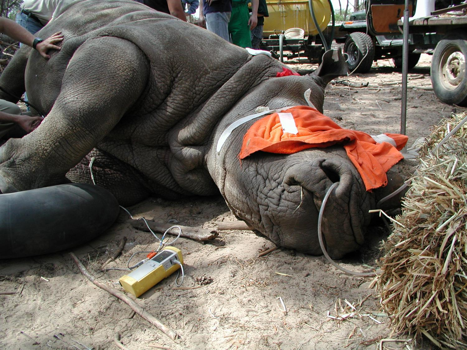 checking the health of captive rhinos