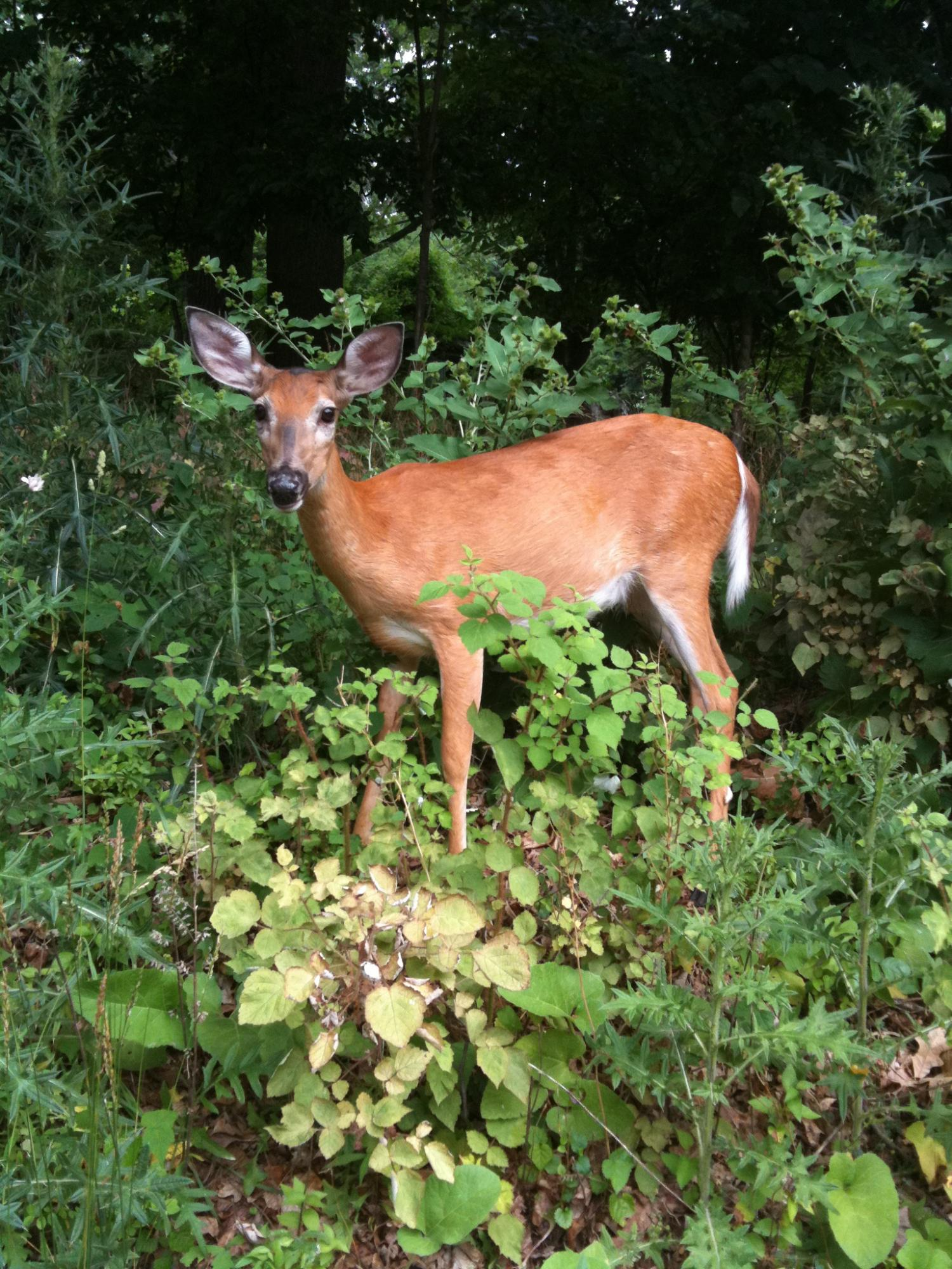Many white-tailed deer have malaria: Researchers discover first-ever native malaria in the Americas