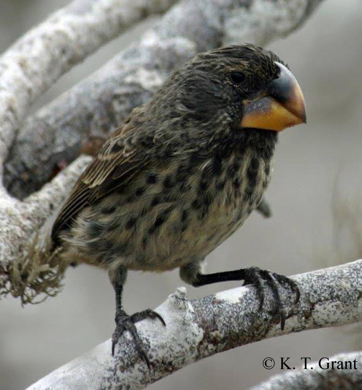 in action detected in Darwin's finches