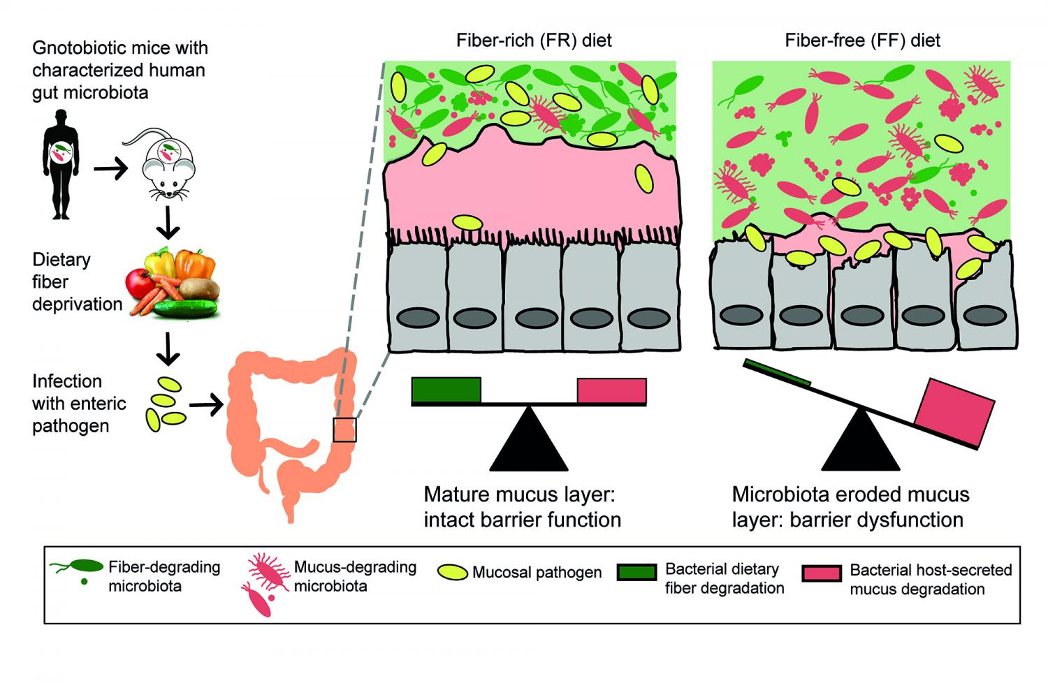 Symbiosis Diagram High-fiber diet keeps ...