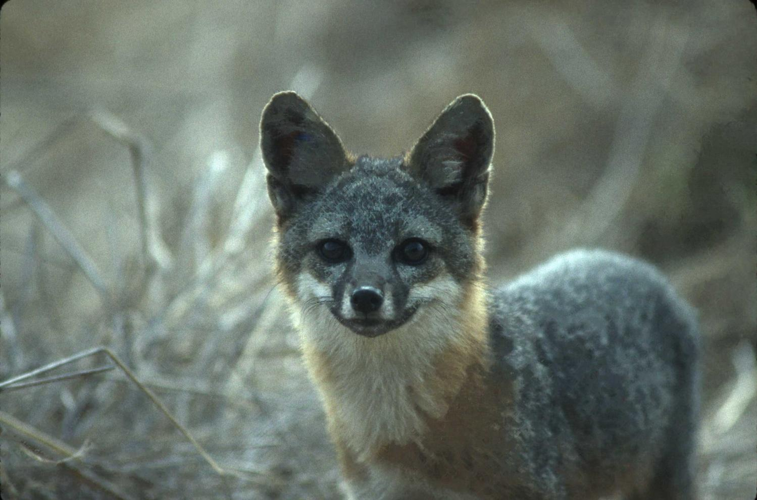 Island Foxes May Be Least Variable Of All Wild Animals-9109