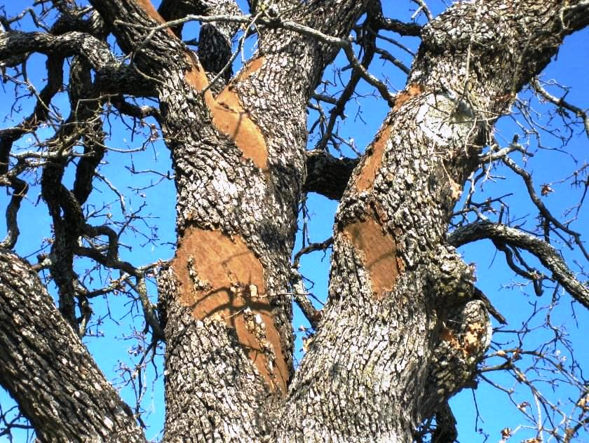 Oak Wilt Other Tree Diseases Examined At Program In San