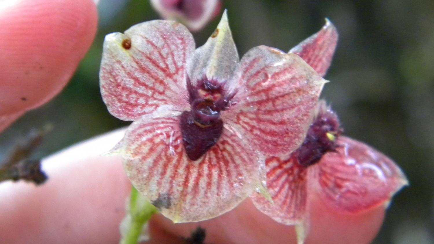 a close up of the new orchid species telipogon diabolicus showing its flower resembling a devils head credit marta kolanowska