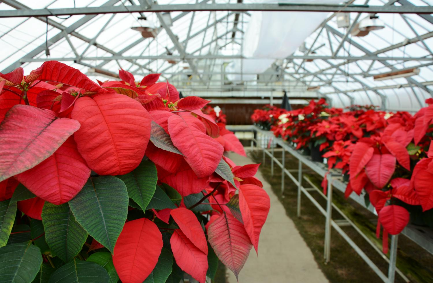 poinsettia trial shows effect of high temperatures on plant growth