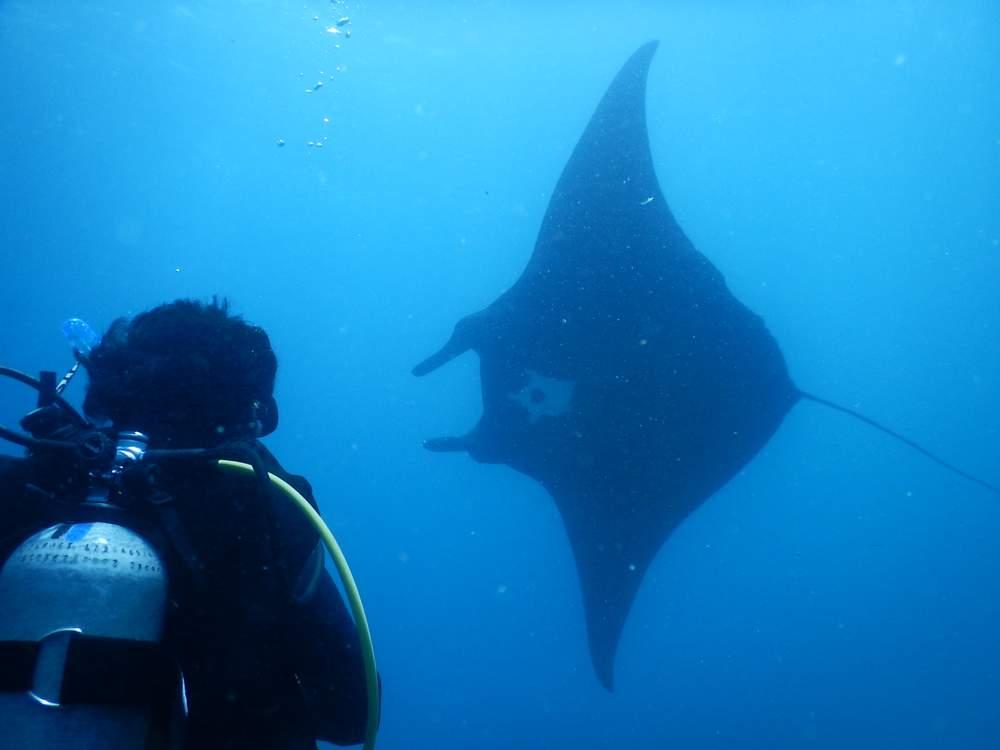 Asian manta rays