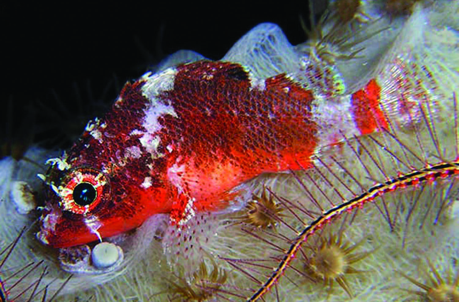 Scorpionfish too deep for SCUBA divers caught by submersible turns ...