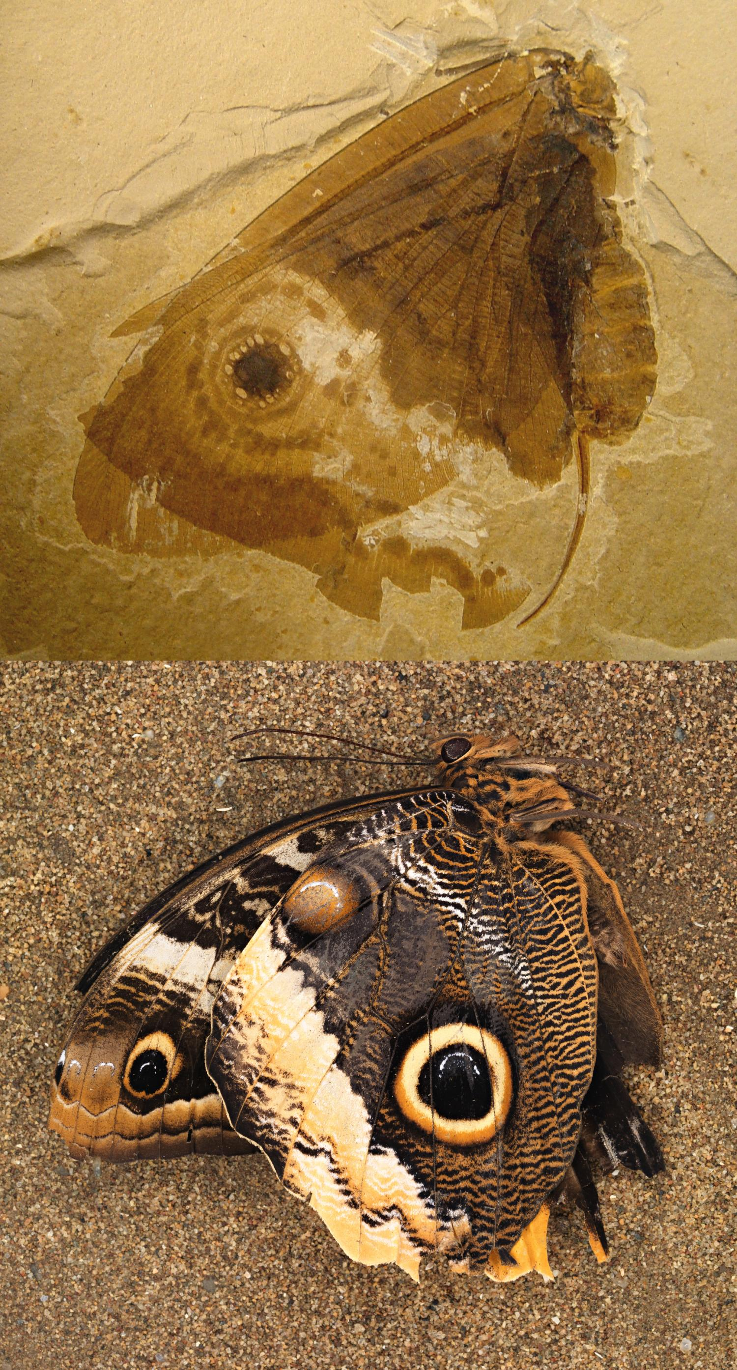 by dating fossils of pollen and beetles Scientists accidentally found oldest ever butterfly  some of the best ever fossils are of insects  florissant fossil beds of north america dating from .