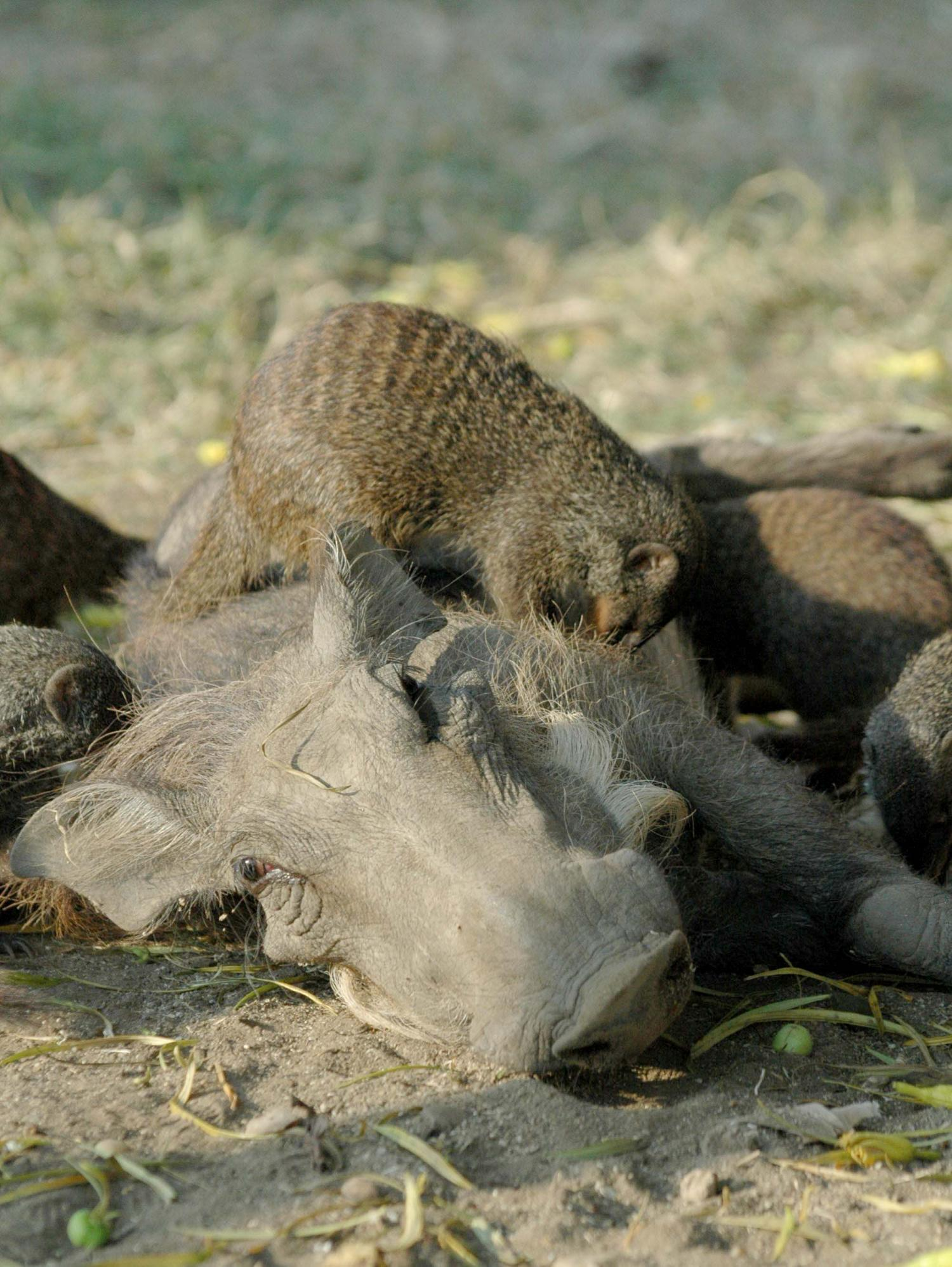 Suffering Warthogs Seek Out Nit Picking Mongooses For Relief
