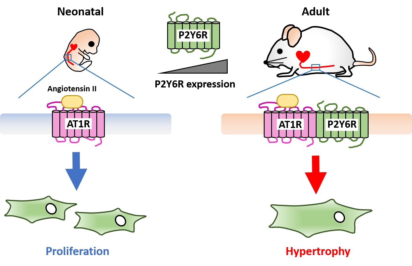 Proliferation and Differentiation of Hematopoietic Cells and Preservation of Immune Functions