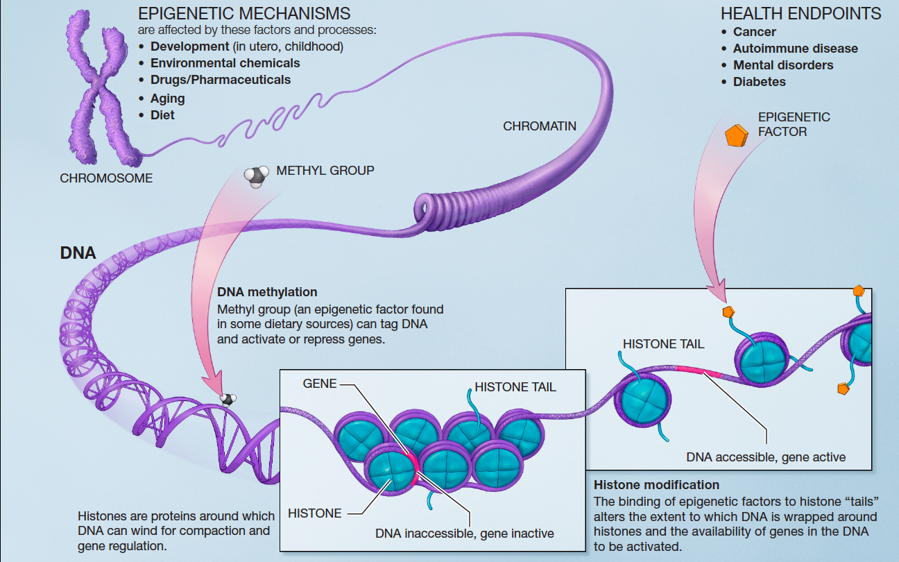 The Influence Of The Epigenome