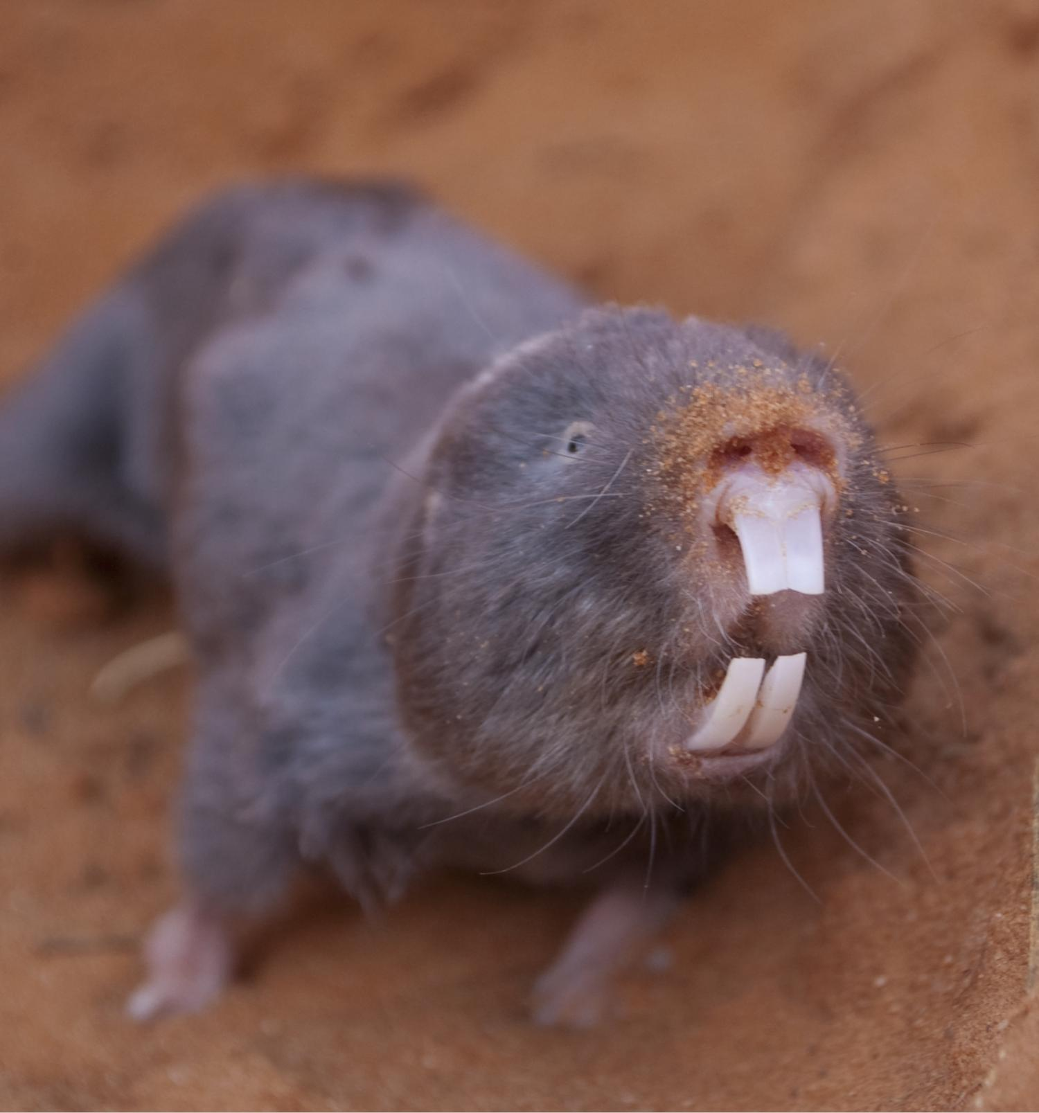 Pictures Of Naked Mole Rats