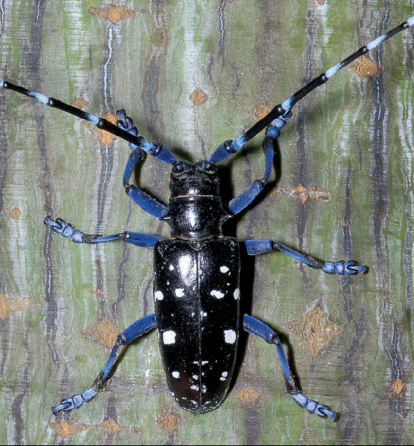 woodland destruction by beetles is facilitated by their