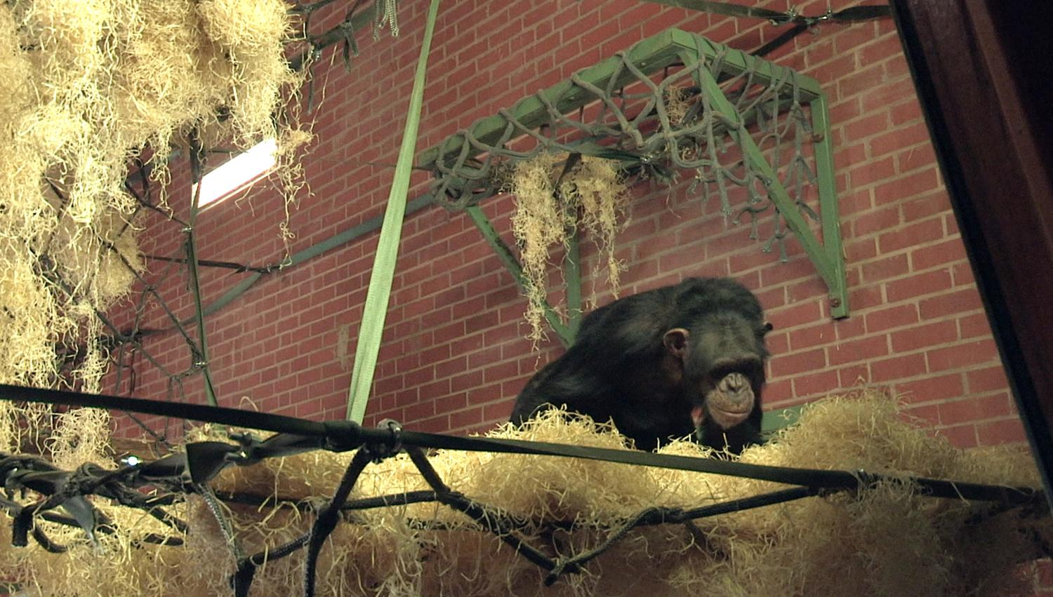 enclosure redesign translates wild chimpanzee research to zoo settings