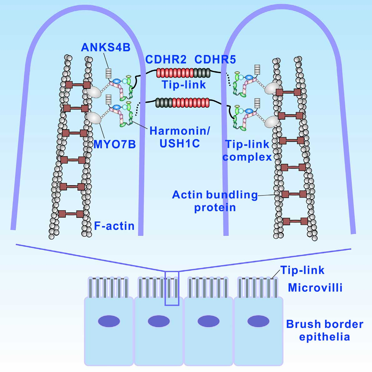 Ear sensory cell stereocilia evolve from gut microvilli did ear sensory cell stereocilia evolve from gut microvilli ccuart Gallery