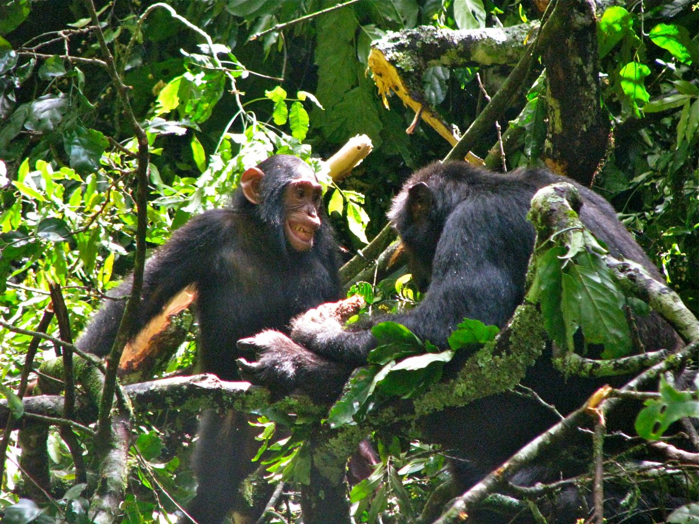 chimpanzees employ babysitters to wean young faster