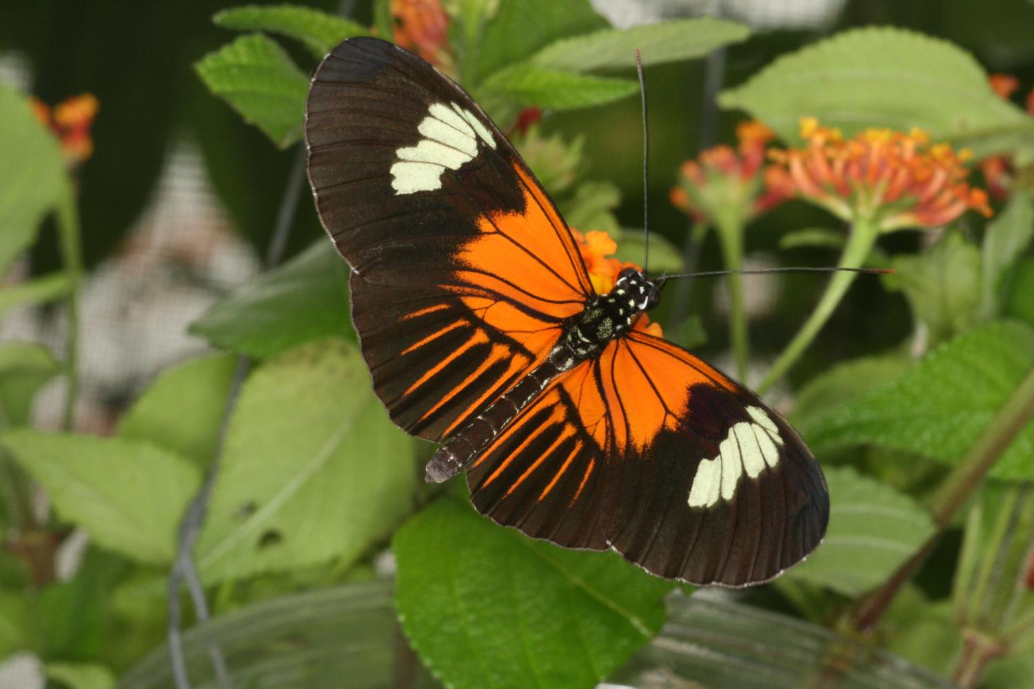 Genetic \'paint box\' shuffled between butterfly species to create new ...