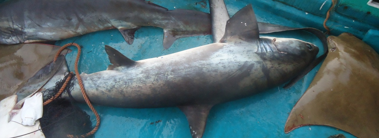 shark fin report Basically, this report will open up about some researches, such as the number of people in china who consume the shark fin soup, as it has been noticed for having the highest percentage consuming the shark fin soup per year.