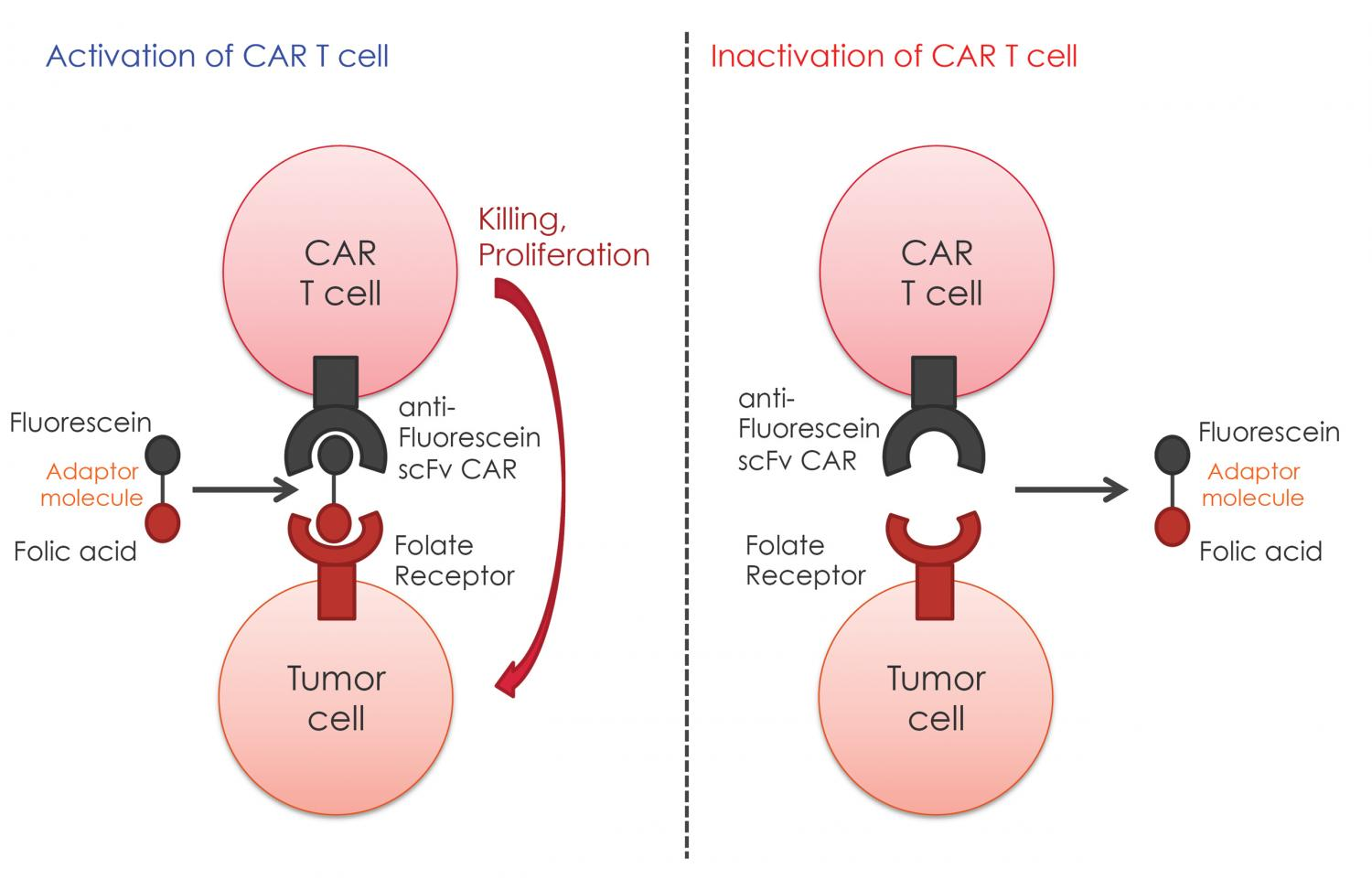 Research Could Expand Engineered T Cell Cancer Treatment