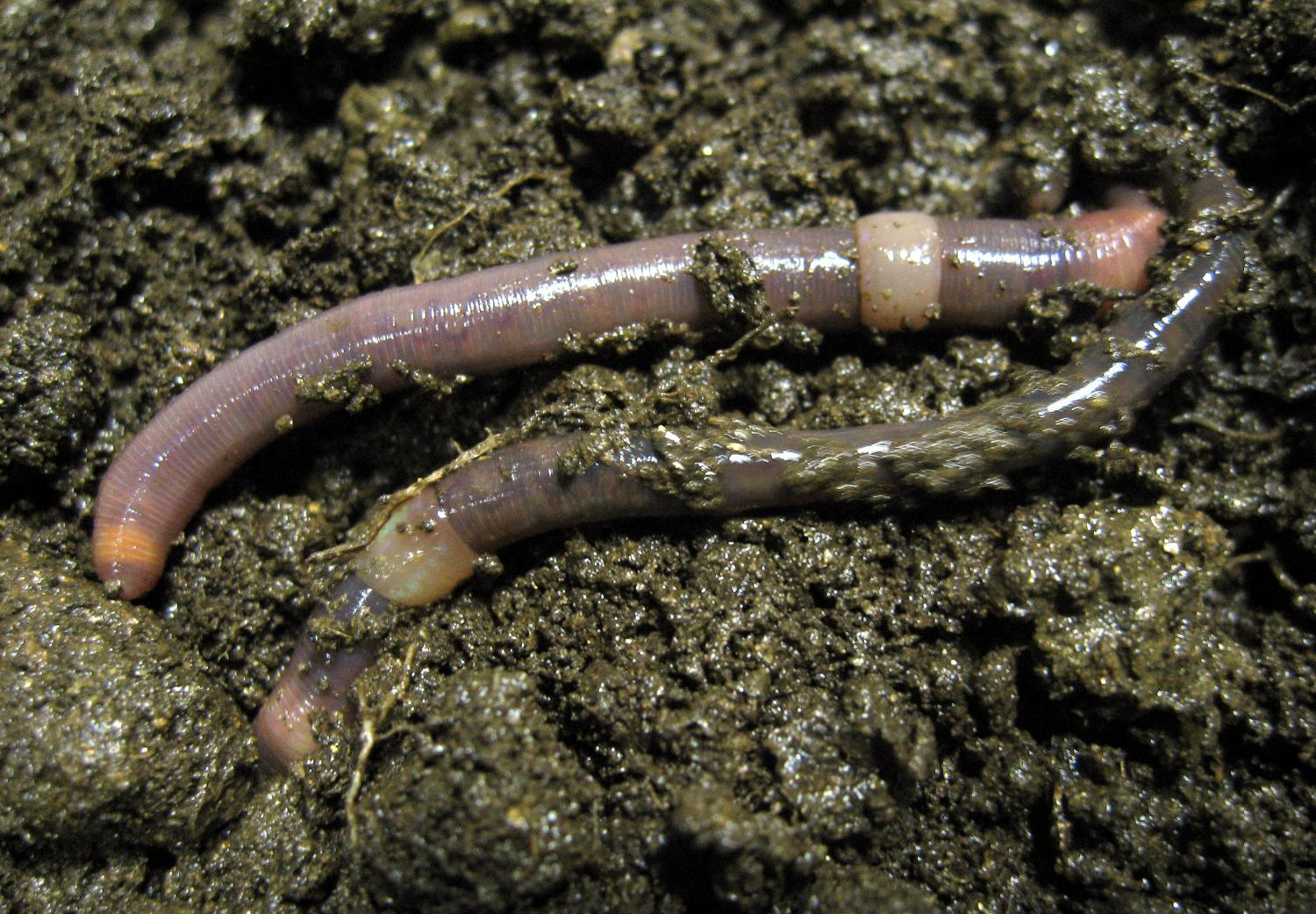 the first european earthworm map is drawn