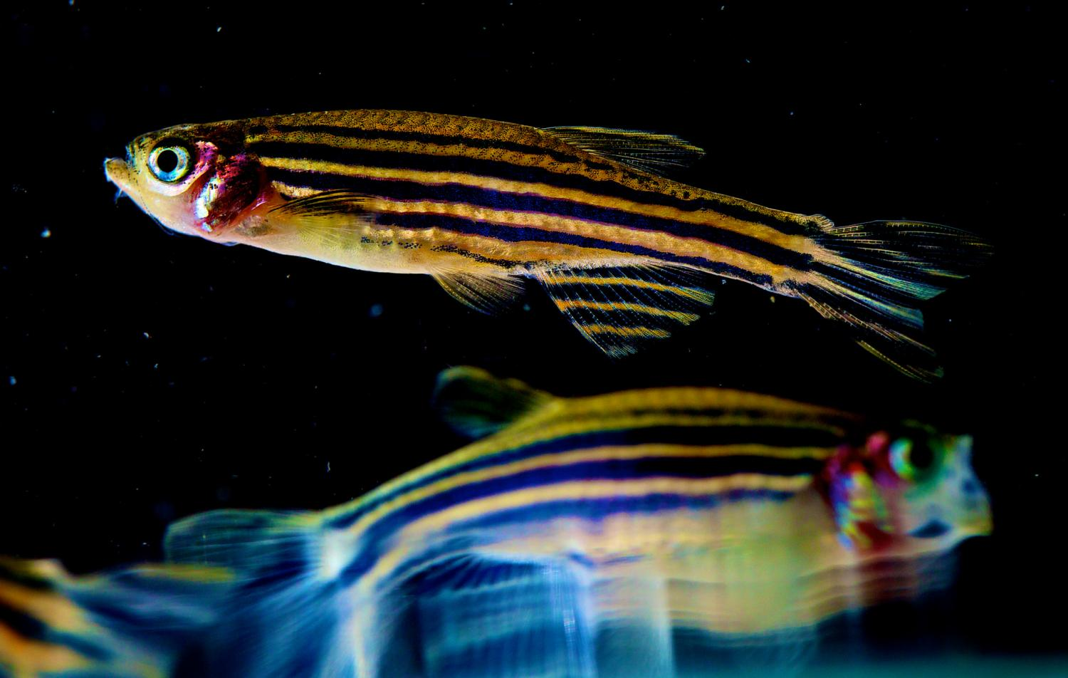 the use of zebrafish to study and provide a treatment for parkinsons disease Treatment for young-onset parkinson's disease most people with pd are prescribed carbidopa/levodopa (sinemet) to manage their motor symptoms however, people with young-onset pd have a higher likelihood of side effects from this medication, such as dyskinesia.