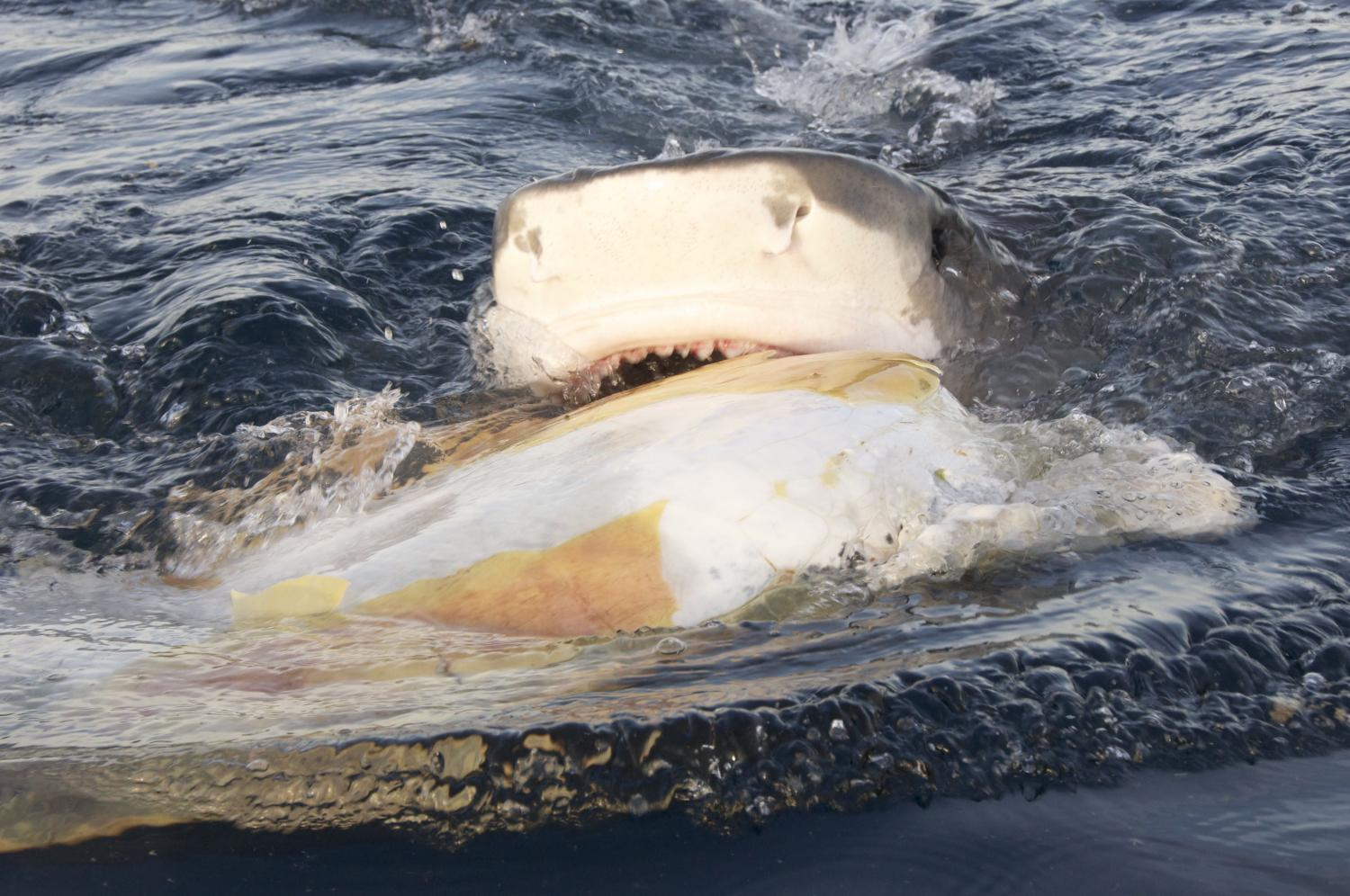 Threats and Conservation | Sea Turtle Exploration |Tiger Sharks Attack Turtle