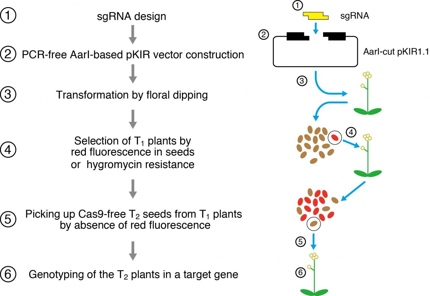 of a rapid method to knockout genes in Arabidopsis thaliana