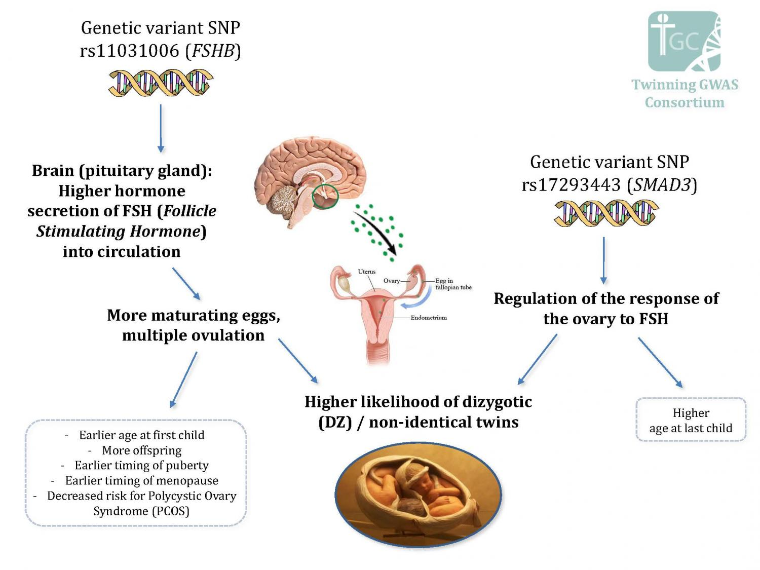 Researchers find genes that influence dizygotic twinning and fertility genetic variant snprs11031006 fshb credit twinning gwas consortium pooptronica Image collections
