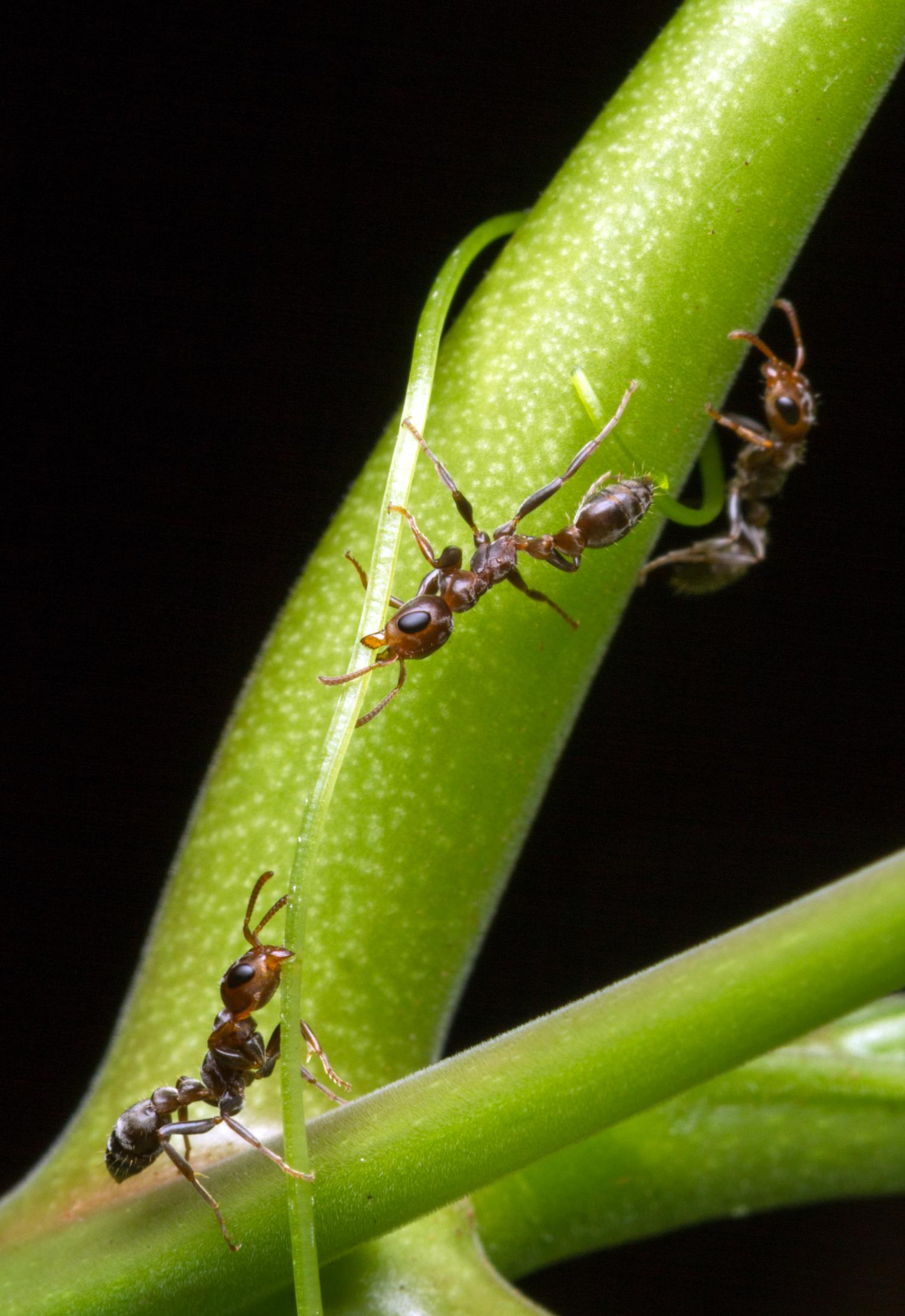 Study challenges long-standing scientific theory: Ant genomics declare 'checkmate' to red king theory