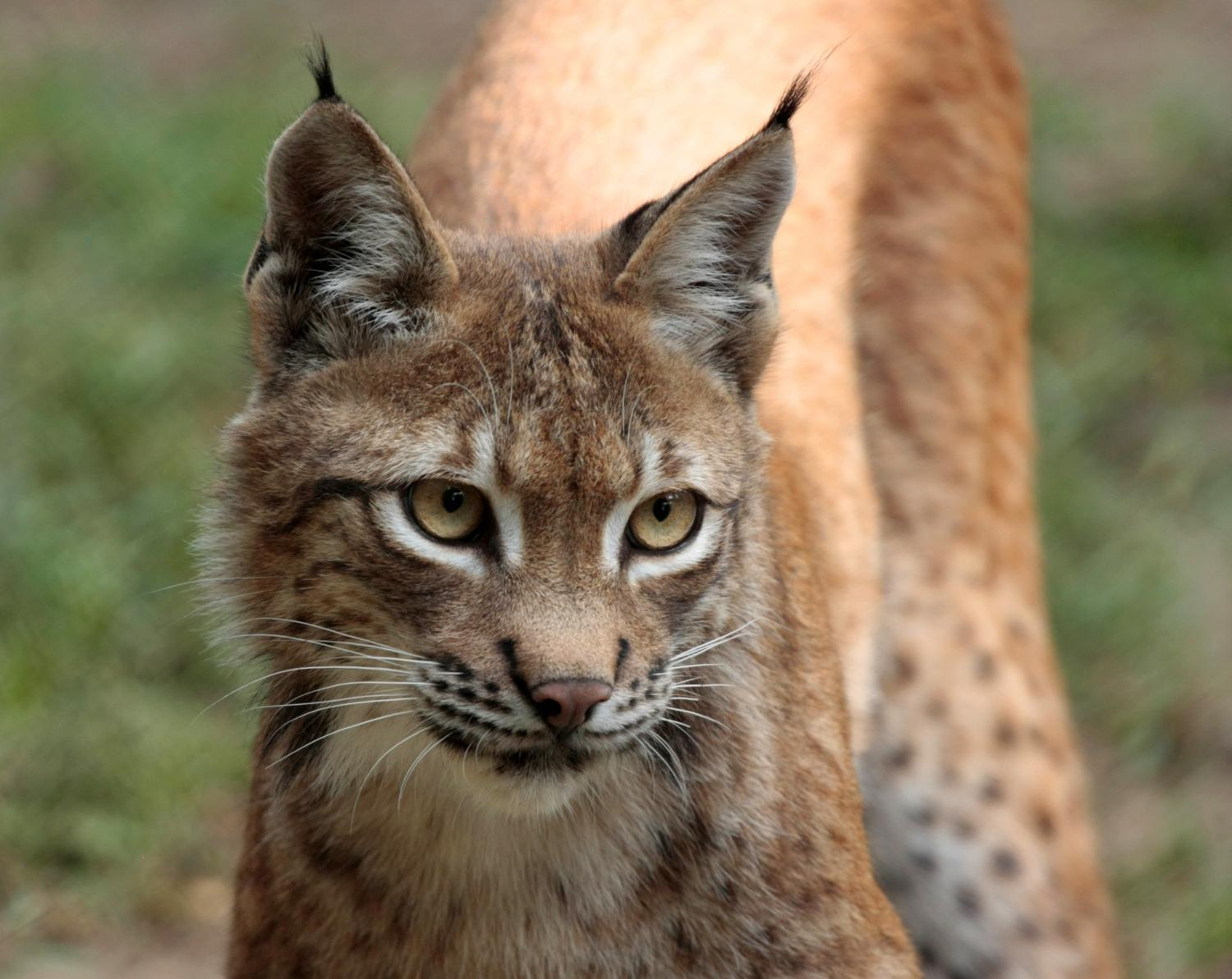Wild Cat Species Of The Forest