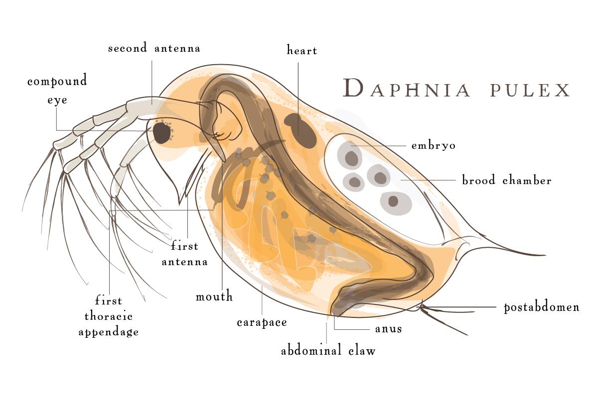Sample Water Flea Diagram